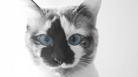 cat, face, blue eyes