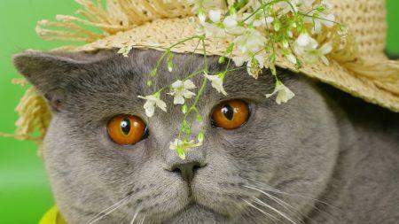 cat, face, briton
