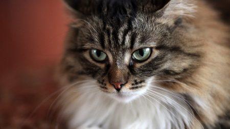 cat, face, fluffy