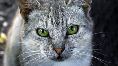 cat, face, gray