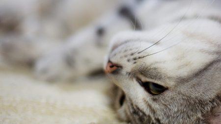 cat, face, lies