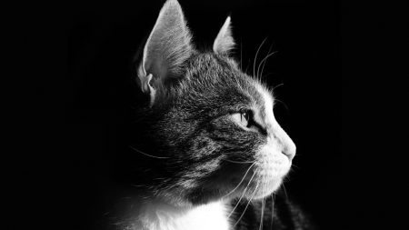 cat, face, profile