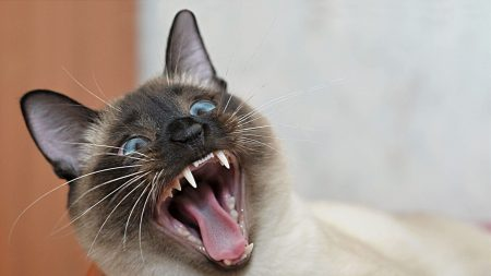 cat, face, yawn