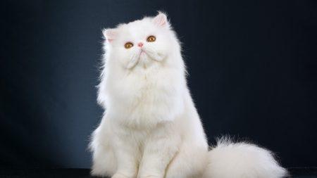 cat, fluffy, sitting