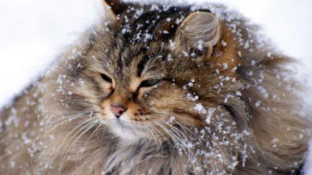 cat, fluffy, snow
