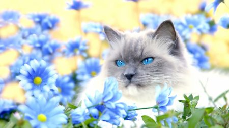 cat, furry, blue