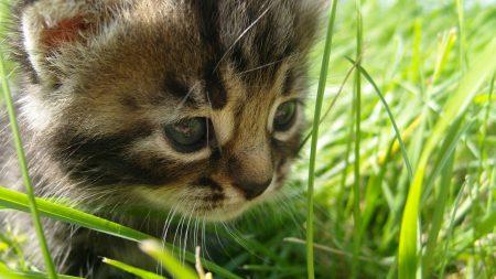 cat, grass, face