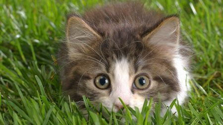 cat, grass, hunting