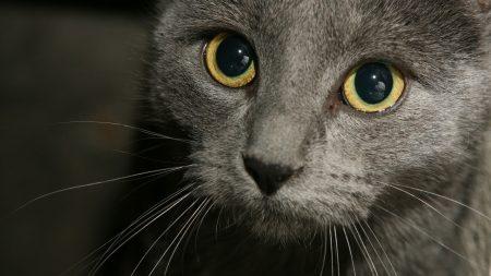cat, gray, eyes