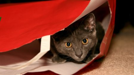 cat, gray, package