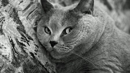 cat, grey, thick