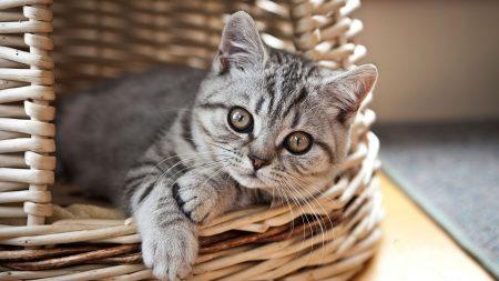 cat, kitten, basket