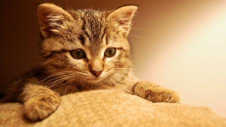 cat, kitten, paws