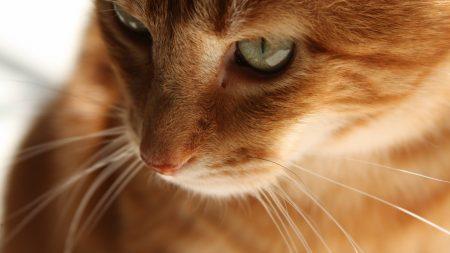 cat, kitten, red