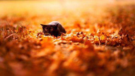 cat, leaves, autumn