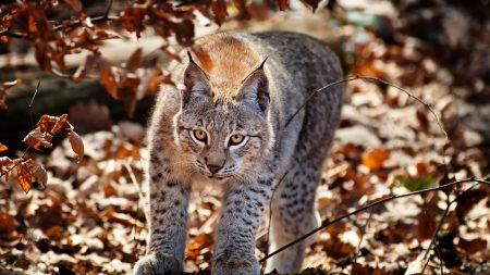 cat, leaves, lynx