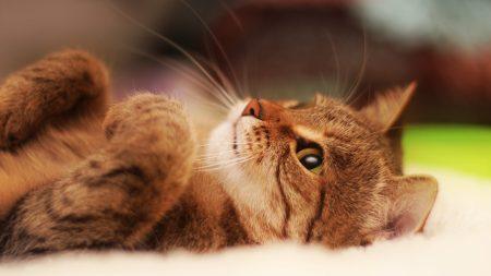 cat, lying, cool cat