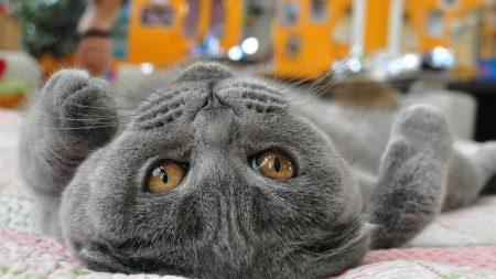 cat, lying, face