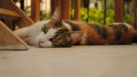 cat, lying, plain
