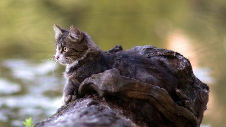 cat, lying, timber