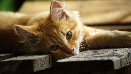 cat, lying, wooden flooring