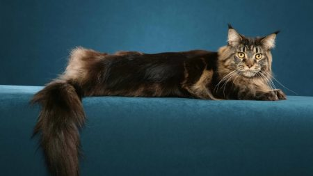 cat, maine coon, beautiful