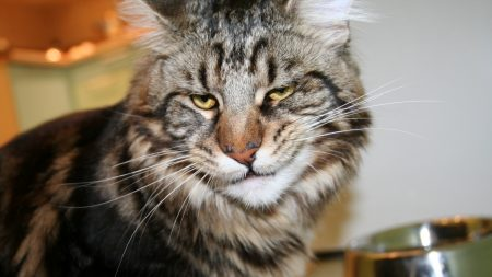 cat, maine coon, face