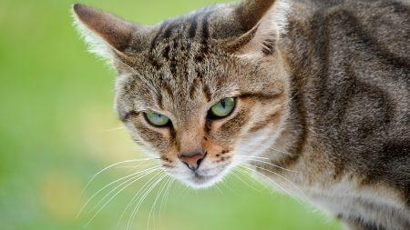 cat, muzzle, aggression