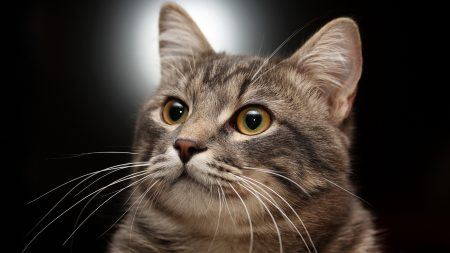 cat, muzzle, gray