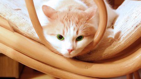cat, muzzle, lie