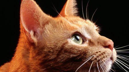 cat, muzzle, profile