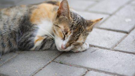 cat, paw, lies