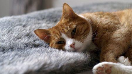 cat, rug, sleep