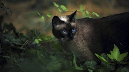 cat, siamese, grass