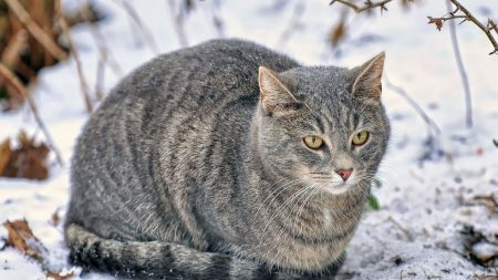 cat, snow, fluffy