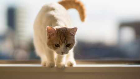 cat, tail, walking