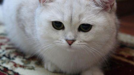 cat, white, eyes