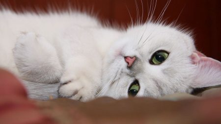cat, white, face