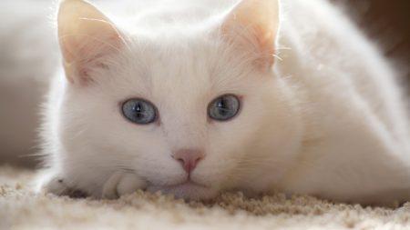 cat, white, lie