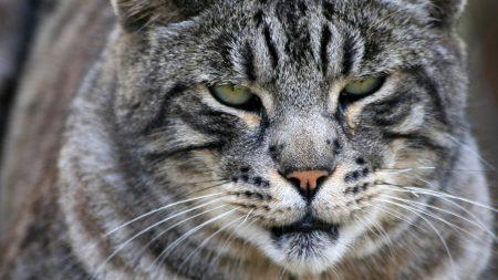 cat, wild, big