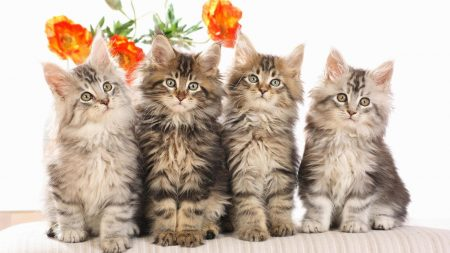 cats, fluffy, flowers