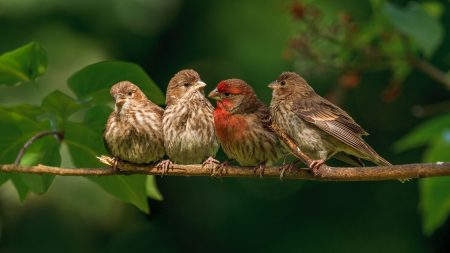 chaffinches, family, branch