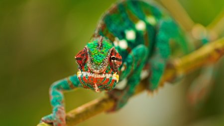 chameleon, lubricated, head