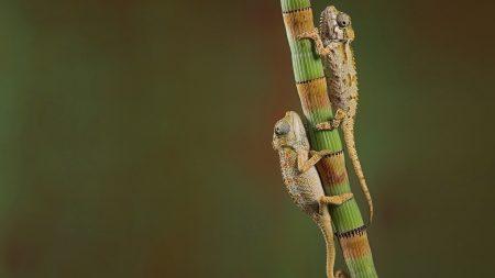 chameleons, crawling, couple