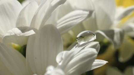 chamomile, drops, moisture