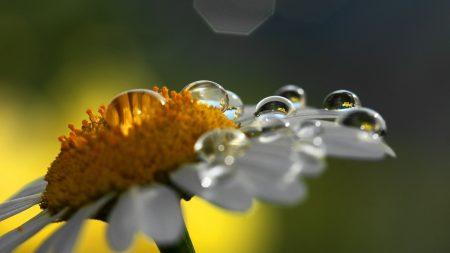 chamomile, drops, shadow