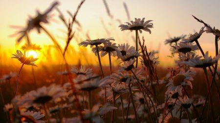 chamomile, field, sunset