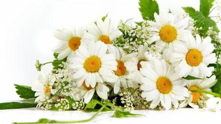 chamomile, flower, green