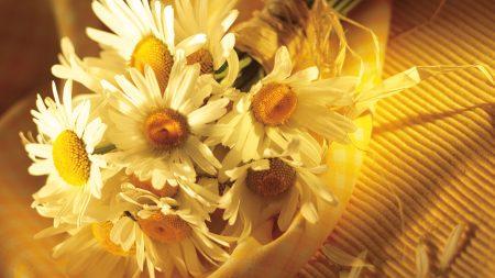 chamomile, flower, petals