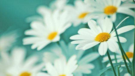 chamomile, flowers, blur